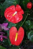 Anthurium κόκκινα λουλούδια Στοκ εικόνες με δικαίωμα ελεύθερης χρήσης
