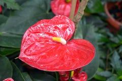 Anthurium - κόκκινα λουλούδια με το κίτρινο pistil Στοκ εικόνα με δικαίωμα ελεύθερης χρήσης
