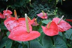 Anthurium - κόκκινα λουλούδια με το κίτρινο pistil Στοκ Εικόνες