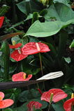 Anthurium κόκκινα φύλλα κεριών κρίνων Στοκ φωτογραφία με δικαίωμα ελεύθερης χρήσης