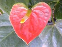 Anthurium κόκκινου χρώματος λουλούδι Στοκ Εικόνα