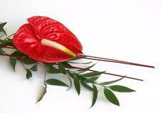 anthurium κόκκινο λουλουδιών φλαμίγκο Στοκ Εικόνα
