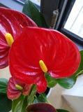 Anthurium κόκκινο λουλούδι Στοκ Φωτογραφία