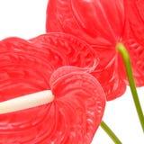 anthurium κόκκινο Στοκ Εικόνα