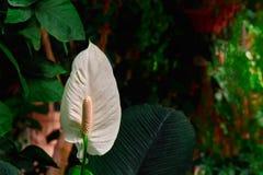 Anthurium λουλουδιών εγκαταστάσεις στο σκούρο πράσινο υπόβαθρο Άσπρο floret φλαμίγκο για την ανθοδέσμη, ιδανική για τις ρυθμίσεις Στοκ φωτογραφίες με δικαίωμα ελεύθερης χρήσης