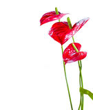 anthurium λουλούδια φλαμίγκο Στοκ Εικόνες