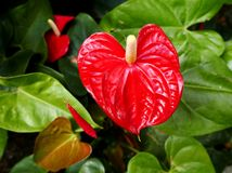 Anthurium λουλούδι φλαμίγκο Στοκ Φωτογραφίες