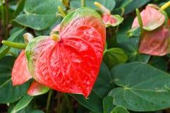 anthurium λουλούδι φλαμίγκο Στοκ εικόνα με δικαίωμα ελεύθερης χρήσης
