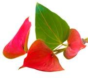 anthurium λουλούδι Στοκ φωτογραφίες με δικαίωμα ελεύθερης χρήσης