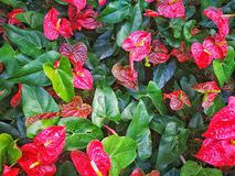 Anthurium λουλούδι andraeanum Στοκ εικόνα με δικαίωμα ελεύθερης χρήσης