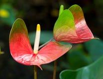 anthurium λουλούδι obake Στοκ φωτογραφία με δικαίωμα ελεύθερης χρήσης