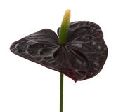anthurium μαύρα διακοσμητικά λο&upsil Στοκ Εικόνες
