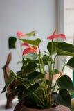 Anthurium οι εγκαταστάσεις καλλιεργούν στο σπίτι στο παράθυρο Στοκ εικόνες με δικαίωμα ελεύθερης χρήσης