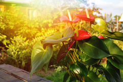 Anthurium λουλουδιών Στοκ φωτογραφίες με δικαίωμα ελεύθερης χρήσης
