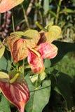 Anthurium λουλούδια στον κήπο Στοκ Εικόνες