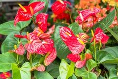 Anthurium λουλούδια φλαμίγκο Στοκ φωτογραφία με δικαίωμα ελεύθερης χρήσης