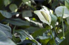 Anthurium λουλούδια Στοκ φωτογραφία με δικαίωμα ελεύθερης χρήσης