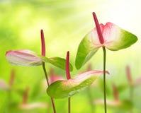 Anthurium λουλούδια Στοκ φωτογραφίες με δικαίωμα ελεύθερης χρήσης