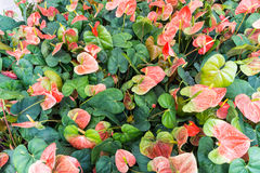 Anthurium (λουλούδι ή Spadix φλαμίγκο) Στοκ Εικόνες