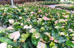 Anthurium (λουλούδι ή Spadix φλαμίγκο) Στοκ Φωτογραφίες