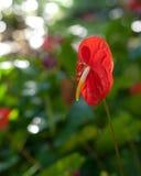 Anthurium λουλούδι μεγάλο νησί της Χαβάης Στοκ φωτογραφίες με δικαίωμα ελεύθερης χρήσης