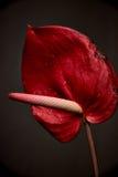 Anthurium λουλούδι, λουλούδι φλαμίγκο Στοκ Εικόνα