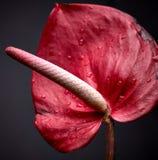 Anthurium λουλούδι, λουλούδι φλαμίγκο Στοκ Φωτογραφίες
