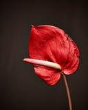 Anthurium λουλούδι, λουλούδι φλαμίγκο Στοκ Φωτογραφία