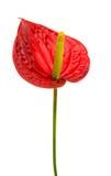Anthurium λουλούδι που απομονώνεται Στοκ Φωτογραφίες