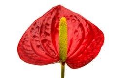 Anthurium λουλούδι που απομονώνεται Στοκ Εικόνες