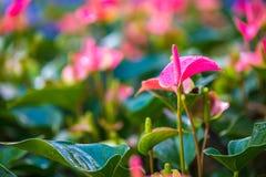Anthurium λουλούδι στον κήπο Στοκ φωτογραφίες με δικαίωμα ελεύθερης χρήσης