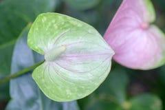 Anthurium λουλούδι στο βοτανικό κήπο Στοκ Φωτογραφίες