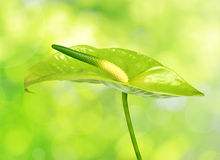 Anthurium λουλούδι Στοκ Εικόνες