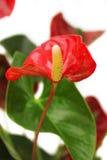 Anthurium λουλούδι Στοκ Φωτογραφίες