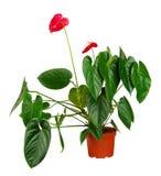 Anthurium λουλούδι flowerpot Στοκ φωτογραφία με δικαίωμα ελεύθερης χρήσης