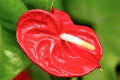 Anthurium λουλούδι Scherzerianum Στοκ φωτογραφίες με δικαίωμα ελεύθερης χρήσης