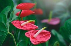 Anthurium πλεξίδων ή κόκκινο λουλούδι φλαμίγκο Στοκ Εικόνες