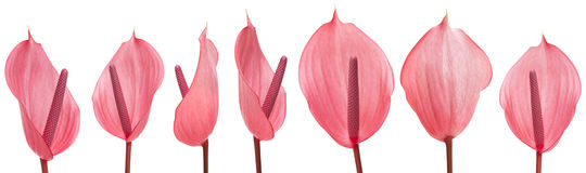 Anthurium που απομονώνεται ρόδινο Στοκ Εικόνες