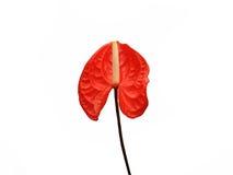 Anthurium που απομονώνεται σκούρο κόκκινο Στοκ εικόνες με δικαίωμα ελεύθερης χρήσης