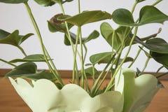 Anthurium πράσινες εγκαταστάσεις εγκαταστάσεων σε ένα βάζο Στοκ Φωτογραφίες