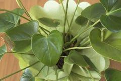 Anthurium πράσινες εγκαταστάσεις εγκαταστάσεων σε ένα βάζο Στοκ Εικόνες