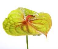 anthurium πράσινο Στοκ Εικόνες