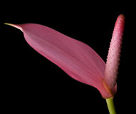 anthurium ροζ λουλουδιών φλαμί&ga Στοκ Εικόνα