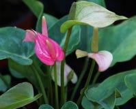 Anthurium ροζ σε έναν κήπο Στοκ εικόνες με δικαίωμα ελεύθερης χρήσης