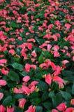 Anthurium ροζ Στοκ φωτογραφία με δικαίωμα ελεύθερης χρήσης