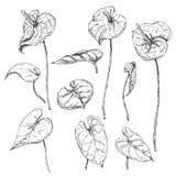 Anthurium σκίτσο φύλλων και λουλουδιών Στοκ Εικόνες