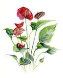 Anthurium Σκίτσο Watercolor απεικόνιση σχεδίων χεριών, που απομονώνεται Στοκ Εικόνα