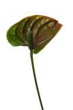 anthurium στενός επάνω Στοκ Φωτογραφία