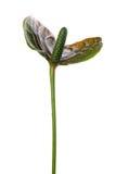 anthurium στενό επάνω λευκό Στοκ φωτογραφίες με δικαίωμα ελεύθερης χρήσης