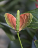 Anthurium στην άνθιση στον κήπο Στοκ Εικόνες